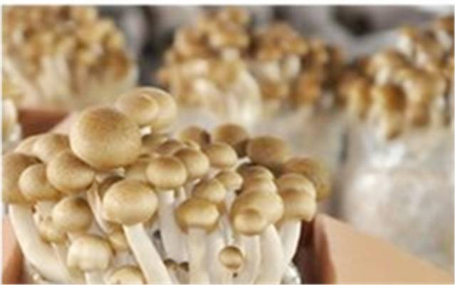 HVAC Required in Farming Mushrooms -Shanghai Fungus Plant