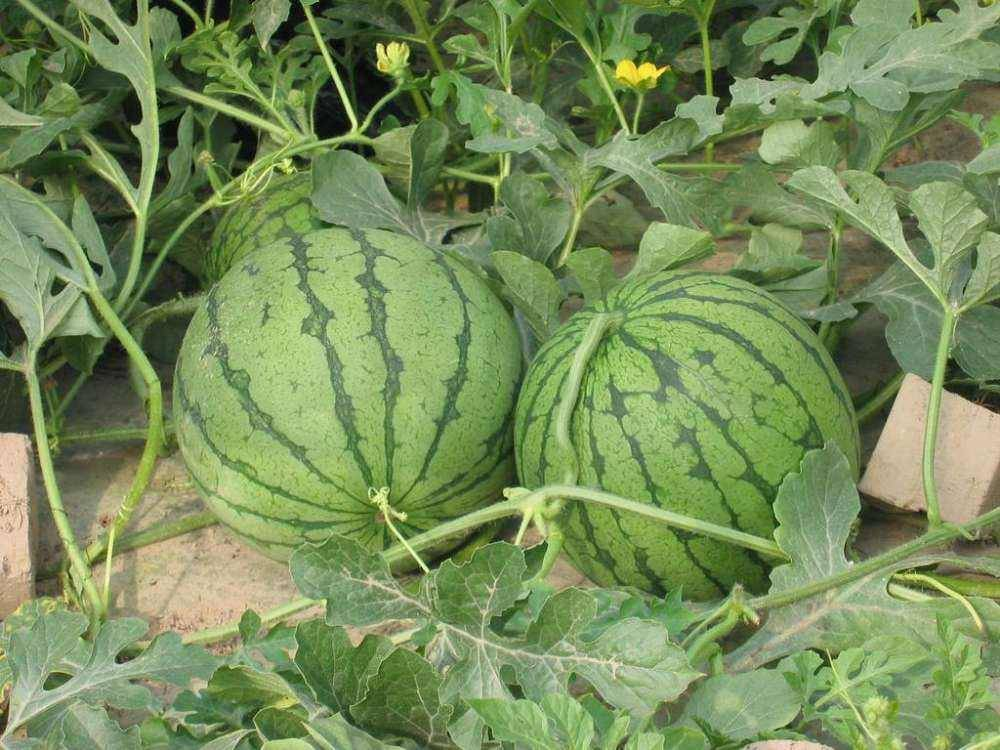 How To Water Watermelon Plants And When To Water Watermelons