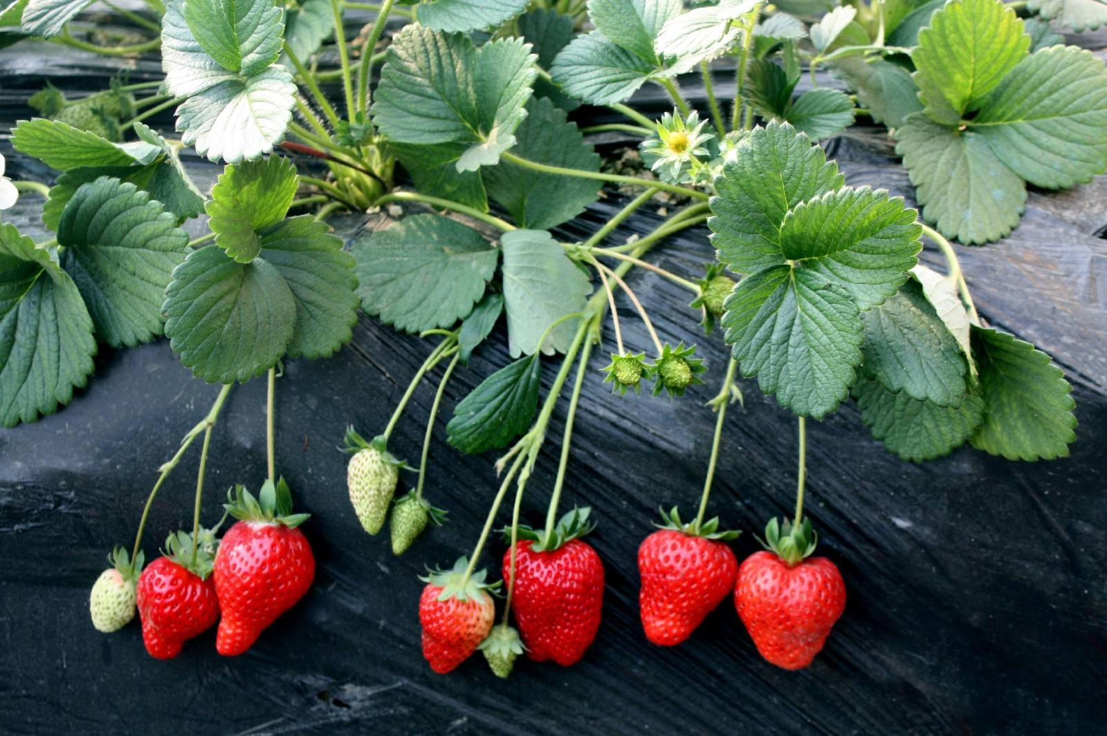Strawberry irrigation, spray tube or drip tape, which is better?