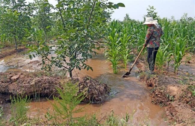 The harm of flood irrigation to fruit trees