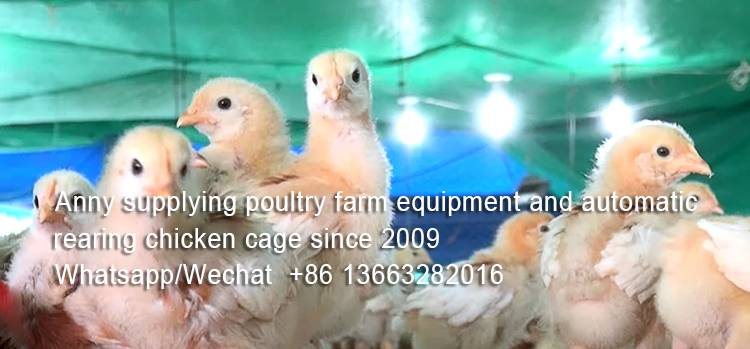 How to ensure quality drinking water for chickens in poultry farm