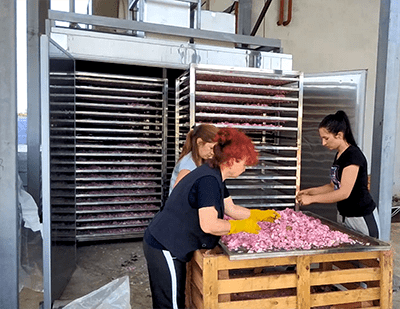 Rose drying in Bulgaria