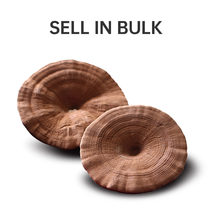 Bulk Ganoderma Lucidum  Reishi Mushroom Featured Image