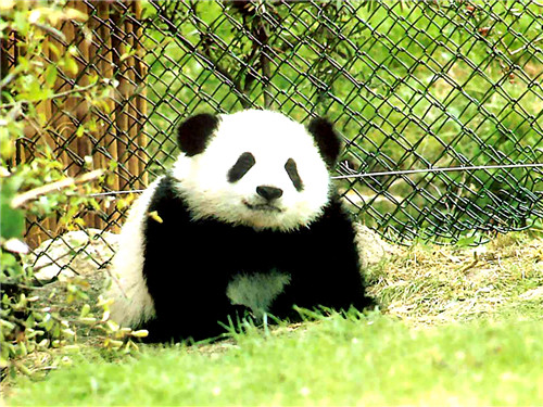 GOURMAID donates Cheng du Research Base of Giant Panda Breeding