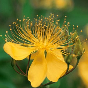 St Johns Wort extract
