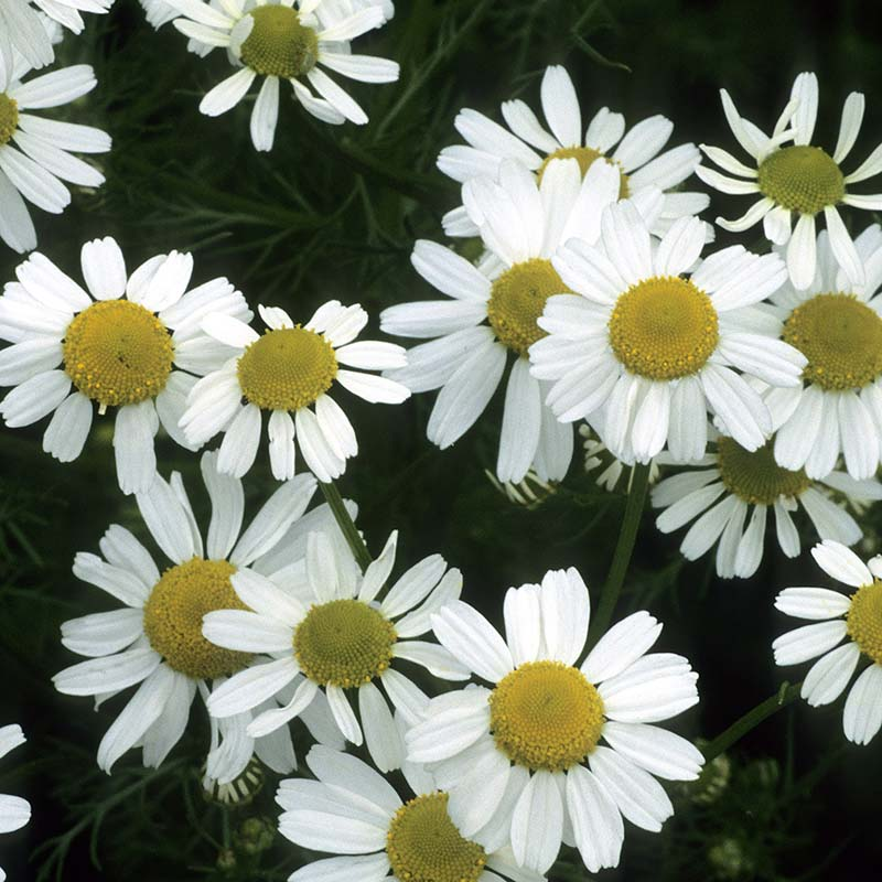Chamomile kinuha Featured Image