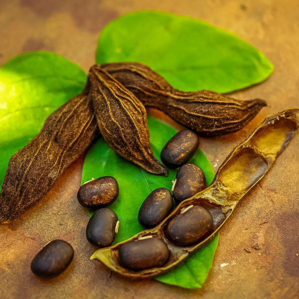 Mucuna pruriens Eltiru Featured Bildo