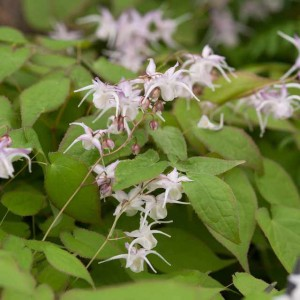 Epimedium Extracto