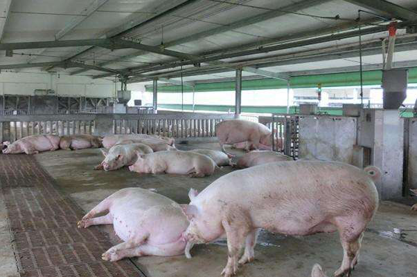 What are the tips for high-temperature pig raising in summer (1)