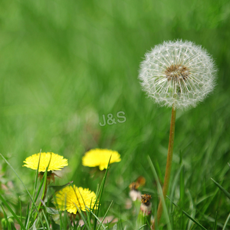 China Wholesale for Dandelion root extract Factory for London