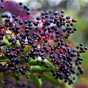 Factory Wholesale PriceList for Elderberry Extract Factory in Johannesburg