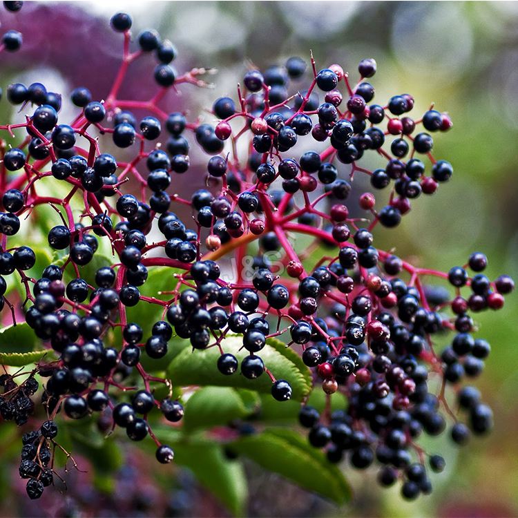 China Professional Supplier Elderberry Extract Factory in Asia