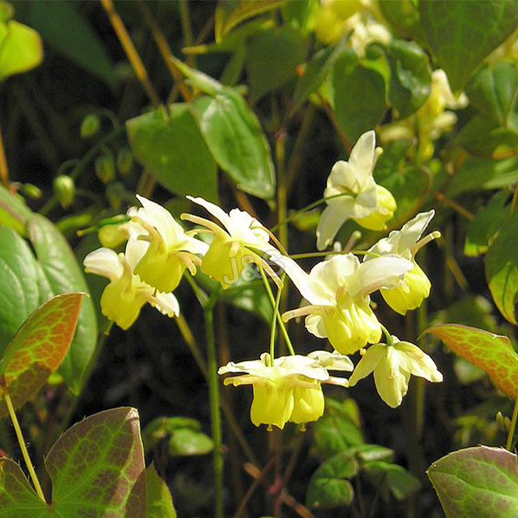 Best Price for Epimedium Extract Supply to Gambia