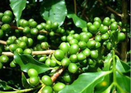 Green Coffee Bean Extract111.222jpg