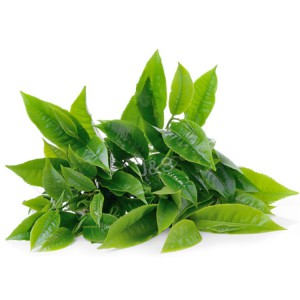 Factory Cheap Hot Green tea extract Factory for Afghanistan