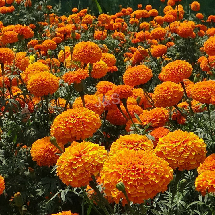 Supply for Marigold extract in Uzbekistan