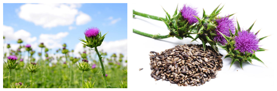 Milk Thistle Extract112221