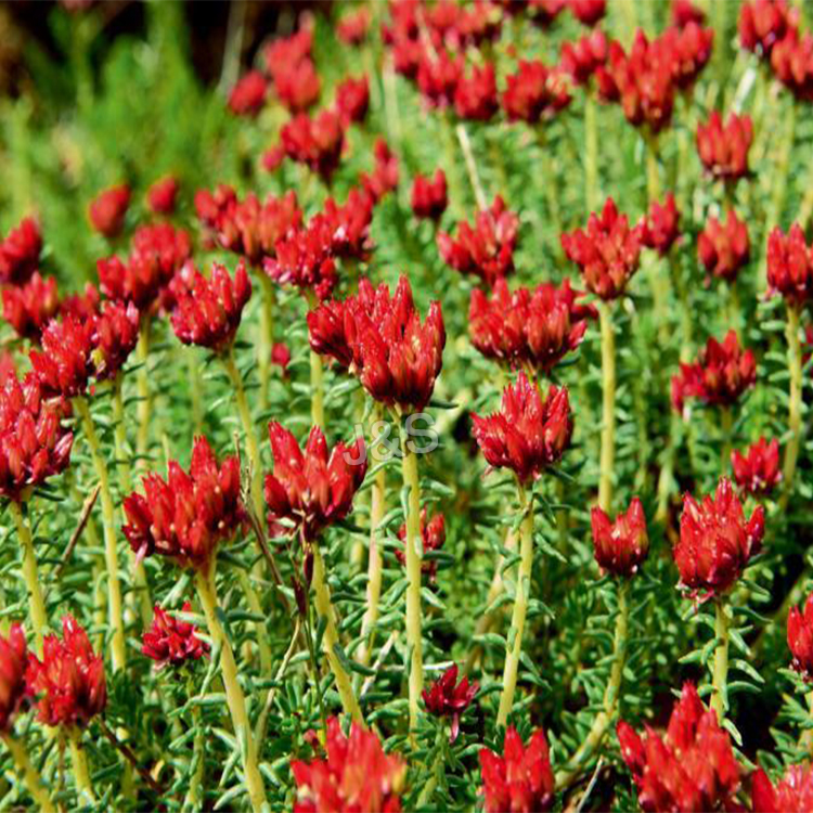 Manufacturing Companies for Organic Rhodiola Rosea Extract Supply to Indonesia