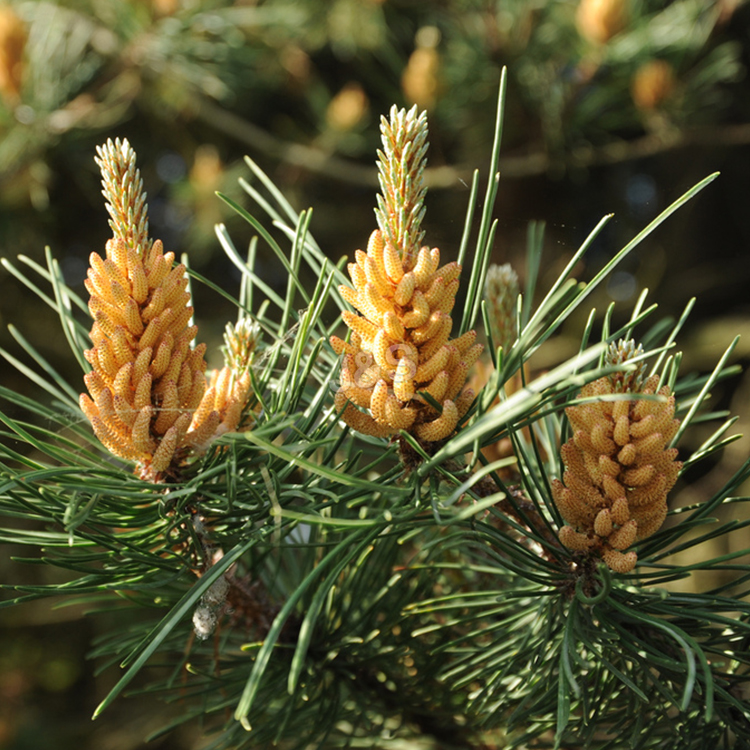 Supply for Pine bark Extract Supply to Hyderabad