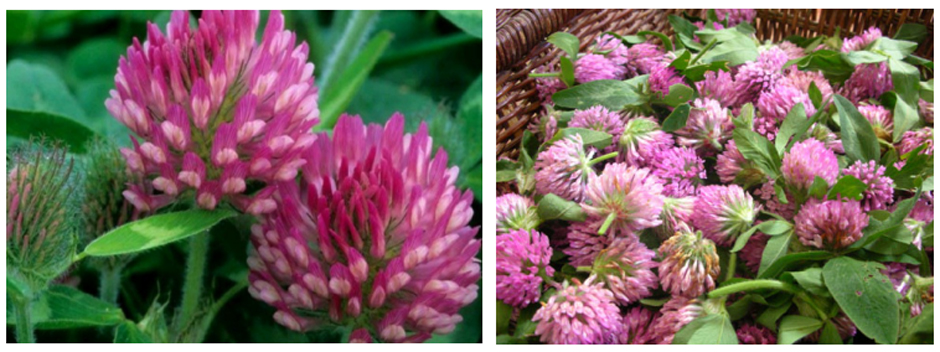 Red clover extract1221
