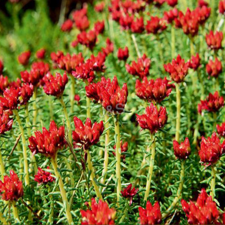 8 Years Manufacturer Rhodiola Rosea Extract Supply to Slovakia