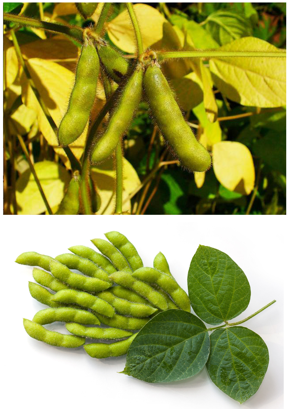 Soybean extract.23333jpg