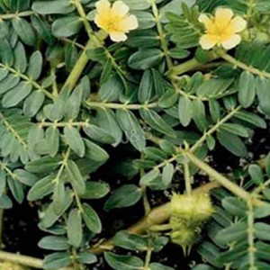 Special Price for Tribulus terrestris extract Wholesale to Hongkong
