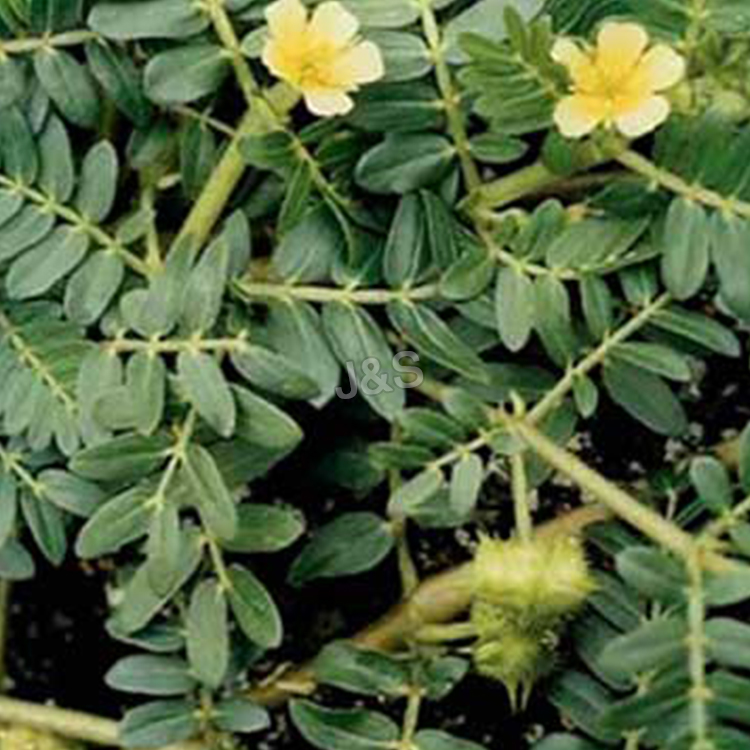 Top Quality Tribulus terrestris extract Wholesale to Jordan