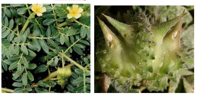 Tribulus_Terrestris_Extract11221