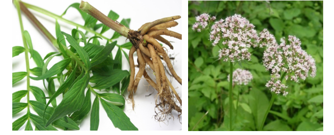 Valerian root extract221