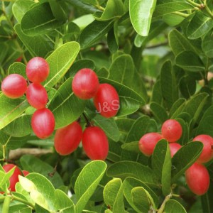 2016 High quality Wolfberry Extract Factory for El Salvador