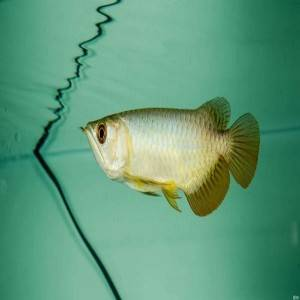 Aquarium Arowana Fish Eye-Care