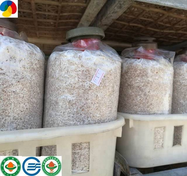 Rapid Delivery for Frozen Cultivated - King oyster mushroom spawn Pleurotus eryngii grow bags delicious edible fungi – Qihe Featured Image