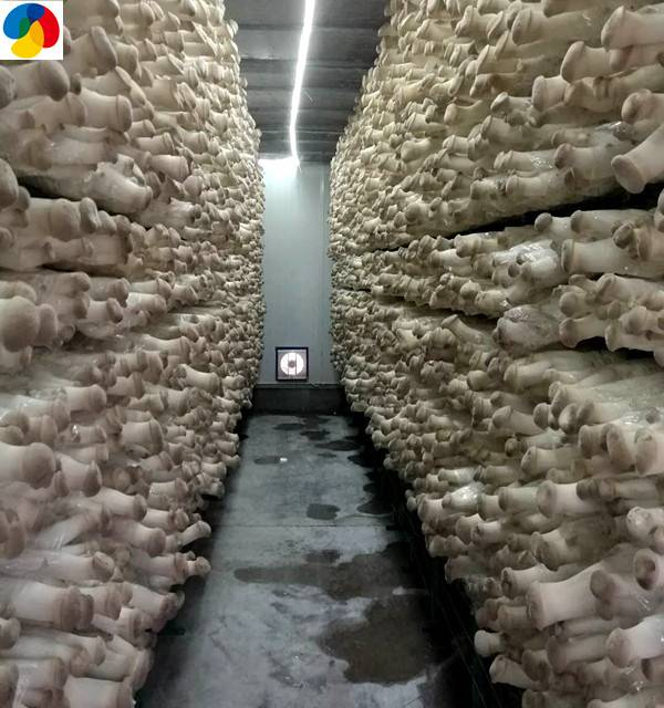 Rapid Delivery for Frozen Cultivated - King oyster mushroom spawn Pleurotus eryngii grow bags delicious edible fungi – Qihe