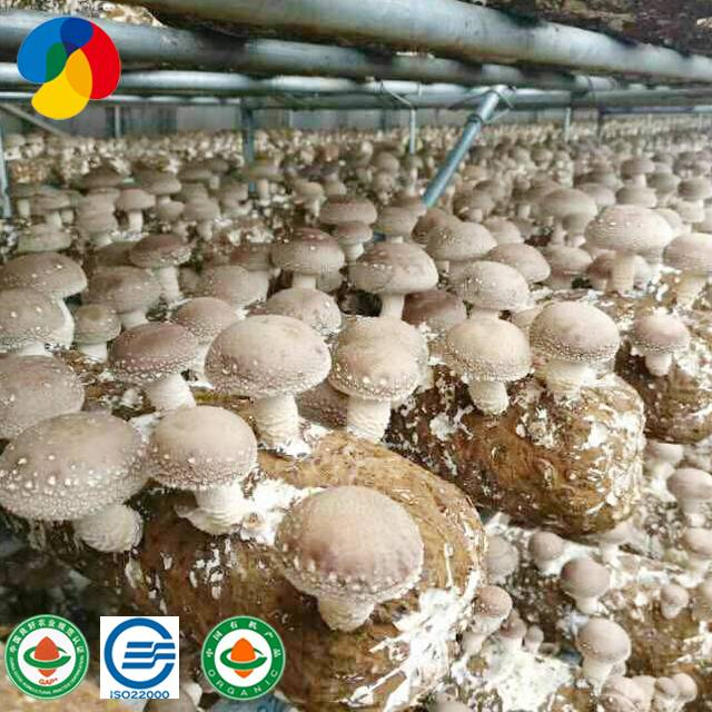 Special Price for Shiitake Mushroom Log Shape Cultivating Block Featured Image