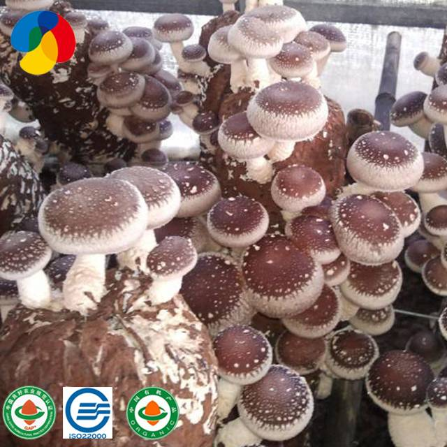 Factory Supply Oyster Mushroom Growing Kit - Shiitake Mushroom spawn kit cultivation mushroom spawn production – Qihe