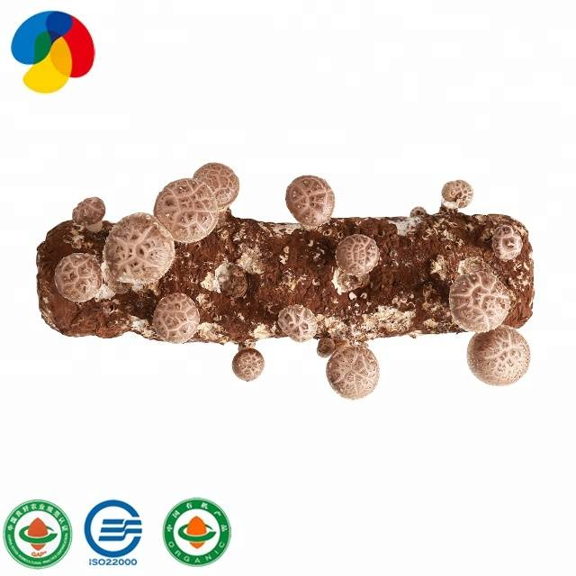 Original Factory Oyster Mushroom Plugs - Good User Reputation for Easy Cultivate Shiitake Mushroom Seeds For Export – Qihe Featured Image