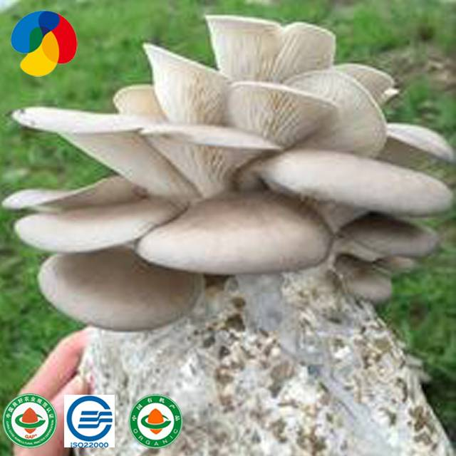 Factory Cheap Hot Mushroom Spawn Cultivation - Qihe mushroom product oyster mushroom spores plugs for sale – Qihe Featured Image