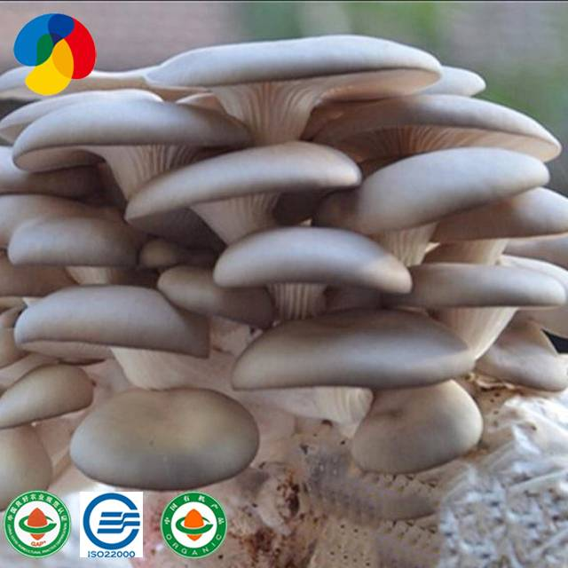 Factory best selling Dried Organic Mushrooms - Natural oyster mushroom spawn / logs for sale – Qihe detail pictures