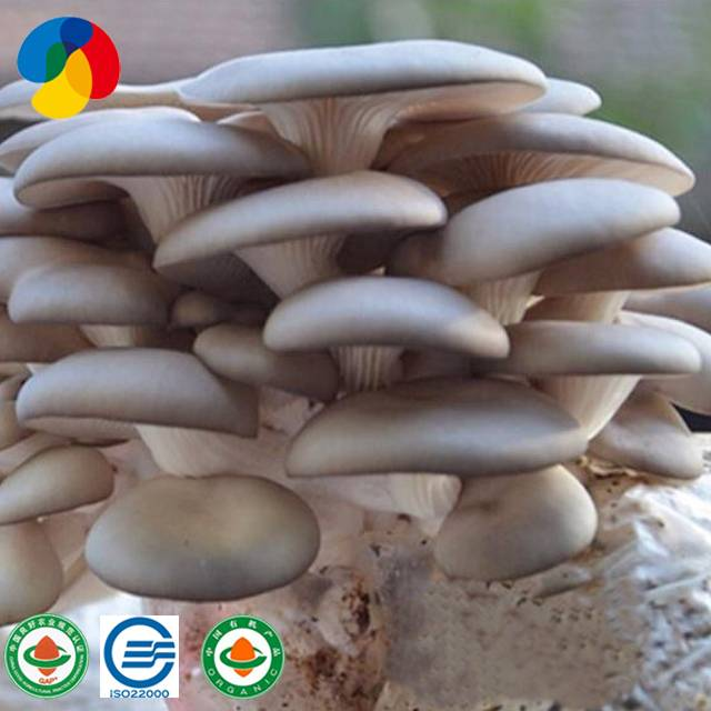 Factory Direct Price Fresh Oyster Mushroom Logs