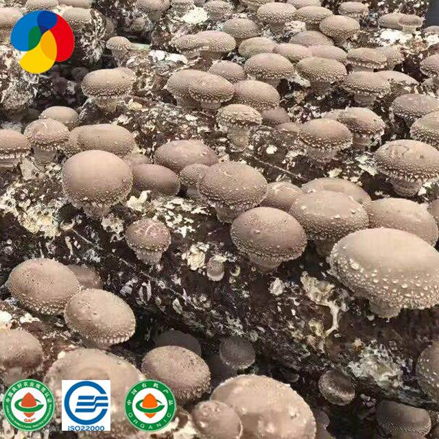 Alibaba Best-selling mushroom spawn with low price