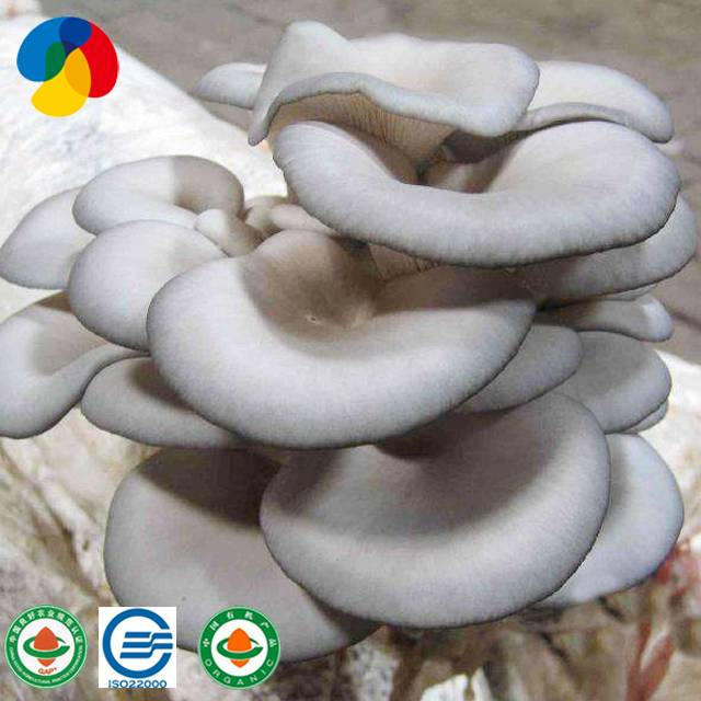 Factory best selling Dried Organic Mushrooms - Natural oyster mushroom spawn / logs for sale – Qihe