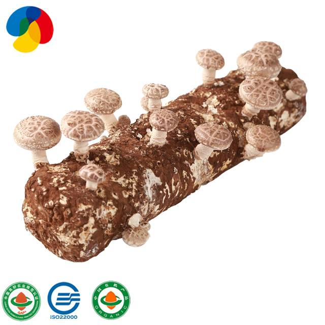 OEM Manufacturer Apple Fruiting Wood Oyster Mushroom Spawns - Natural Organic Sawdust Mushroom Spawn easy cultivate shiitake – Qihe