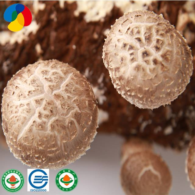Factory For Pleurotus Nebrodensis - Organic Shiitake Mushroom Growing bag where to buy shiitake mushroom spawn with high quality – Qihe detail pictures