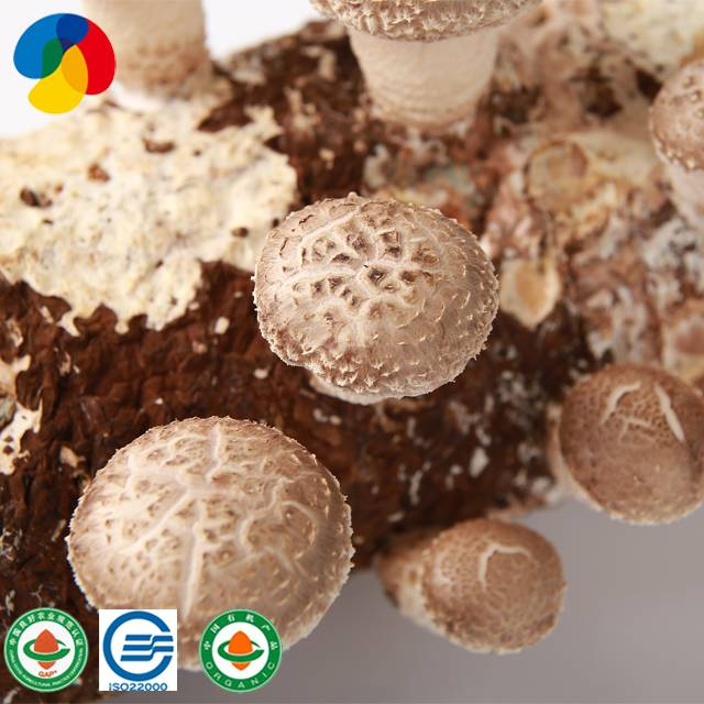 High quality organic shiitake mushroom spores Featured Image