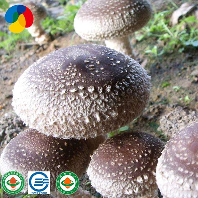 2017 China New Design Markets For Mushroom - Organic shiitake mushroom spawn for mushroom farm – Qihe Featured Image