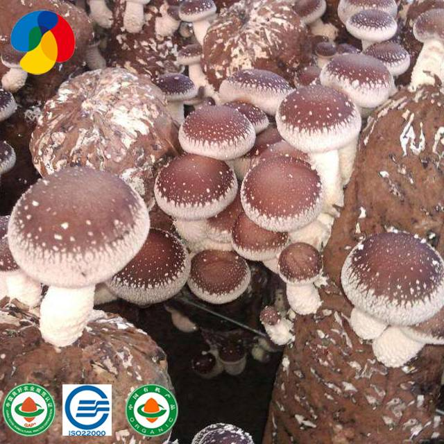 Factory Supply Oyster Mushroom Growing Kit - Shiitake Mushroom spawn kit cultivation mushroom spawn production – Qihe Featured Image