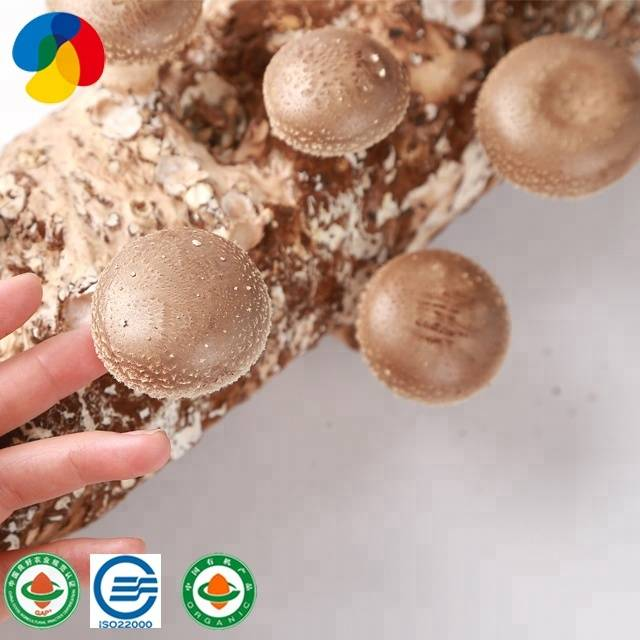 QiHe Fresh Organic hard wood Shiitake Mushroom Spawn With Good Service