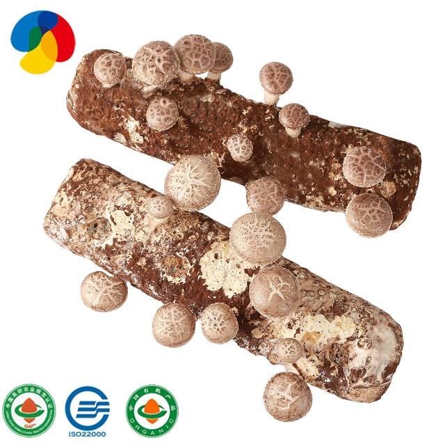 2017 China New Design Markets For Mushroom - Organic shiitake mushroom spawn for mushroom farm – Qihe