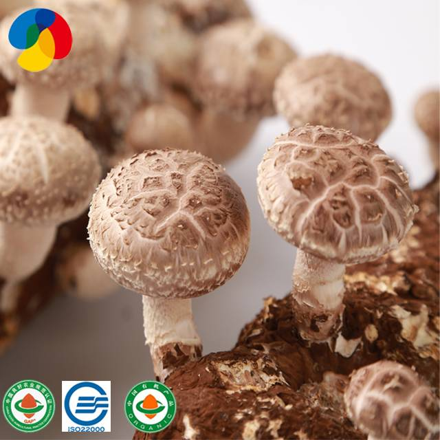 2017 Latest DesignFood Additive - Organic Shiitake Mushroom spawn bags 1 kg for sale – Qihe detail pictures